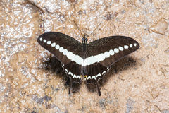 Banded swallowtail butterfly (Papilio demolion) Stock Photos