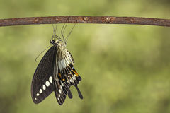 Banded swallowtail butterfly (Papilio demolion) hanging on twig Stock Image