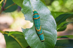 Banded Swallowtail caterpillar Stock Image