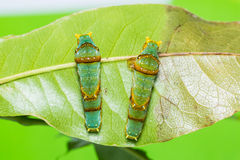Banded Swallowtail caterpillars Stock Photography