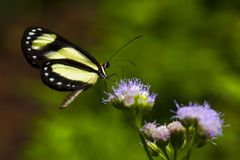 A Banded Tigerwing butterfly Aeria eurimedia alights on a purple flower. stock photo