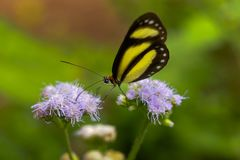 A Banded Tigerwing butterfly straddles flowers to feed. stock images
