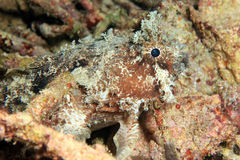 Banded Toadfish Royalty Free Stock Photography