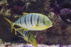 Banded trevally Stock Image
