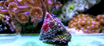 Free Banded Trochus Snail - Trochus Sp. Royalty Free Stock Photography - 126751537