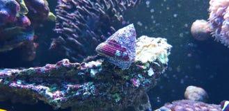 Free Banded Trochus Snail - Trochus Sp. Royalty Free Stock Photo - 142102225