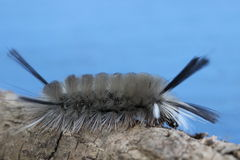 Banded Tussock Moth Caterpillar Royalty Free Stock Photos