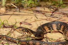 Banded Water Snake Stock Image