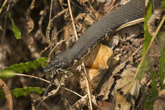 Banded water snake in the underbrush of Florida`s everglades. Stock Image