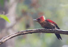 Banded Woodpecker - male Stock Photos