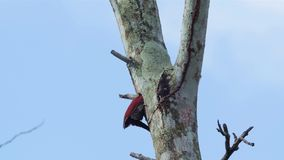 Banded Woodpecker stock video footage