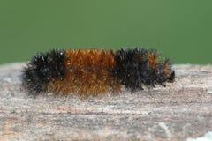 Banded Woolly Bear Caterpillar Pyrrharctia isabella Royalty Free Stock Photo