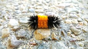 Banded woolly bear caterpillar Royalty Free Stock Photography