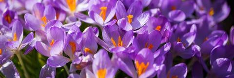 Bandeira, açafrão no jardim, flores bonitas do lila Imagem de Stock