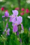Bandeira azul Iris Flower no jardim Foto de Stock