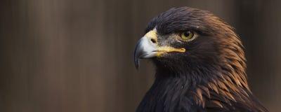 Bandeira de Eagle dourado Imagens de Stock Royalty Free