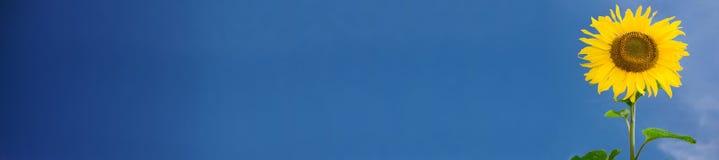 Bandeira do girassol Imagens de Stock Royalty Free