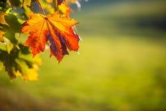 Bandeira do outono com folhas de bordo coloridas fotografia de stock