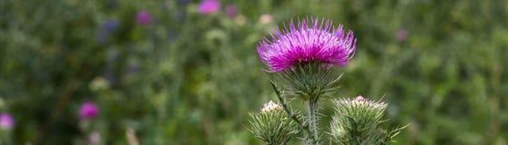 A bandeira dos botões do cardo e as flores em um verão colocam imagem de stock