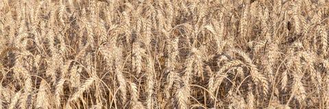 A bandeira panorâmico das orelhas do trigo, aestivum do Triticum, apronta-se para Imagem de Stock Royalty Free