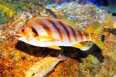 Bandeira-peixes Fotografia de Stock Royalty Free