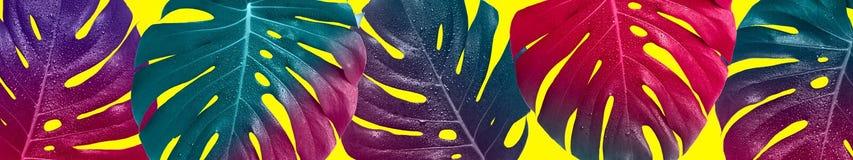 Bandeira saturada criativa Folhas coloridos tropicais do monstera imagens de stock