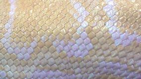 Bandeja da pele de serpente do pitão do albino direita para a esquerda perto acima vídeos de arquivo