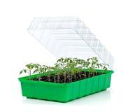 Bandeja de la germinación con los pequeños almácigos del tomate fotografía de archivo libre de regalías