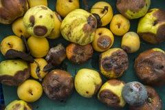 Bandeja de manzanas putrefactas Imagenes de archivo