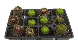 Bandeja de plantas suculentos para a venda Fotos de Stock