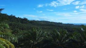 Bandeja de uma plantação do óleo de palma video estoque
