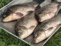 Bandeja do metal com a carpa fresca dos peixes do rio Imagens de Stock
