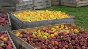 Bandeja dos escaninhos de dourado recentemente colhido - maçãs deliciosas e vermelhas nos escaninhos video estoque