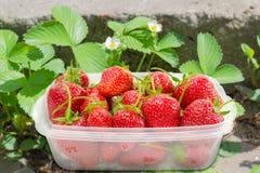 A bandeja plástica com morangos frutifica entre um strawberr de florescência Imagens de Stock