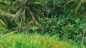 A bandeja sobre palmeiras do coco e o terraço do arroz de Tegalalang colocam bali indonésia vídeos de arquivo