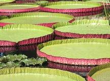 Bandejas da água de Victoria Fotografia de Stock