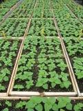 Bandejas de la planta de semillero foto de archivo