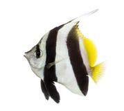 Banderín Coralfish, acuminatus de Heniochus, Imagenes de archivo
