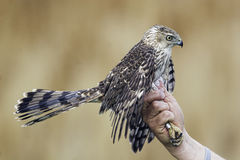 Bander que guarda um falcão dos tanoeiros Fotografia de Stock
