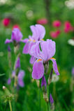 Bandera azul Iris Flower en el jardín Foto de archivo