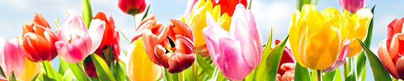 Bandera colorida de la primavera de tulipanes frescos fotografía de archivo libre de regalías