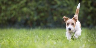 Bandera de la web de un perrito feliz juguetón del perro casero como caminar en la hierba foto de archivo libre de regalías