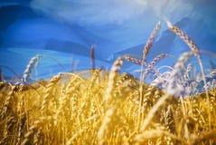 Bandera de Ucrania y campo del trigo del oro debajo del cielo imagen de archivo libre de regalías