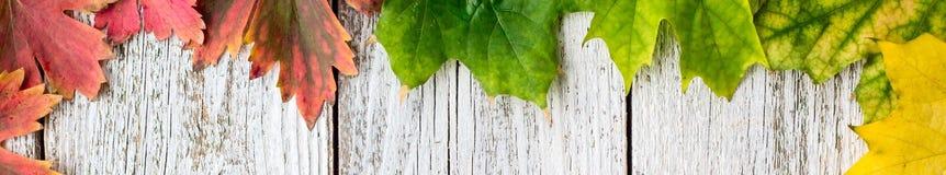 Bandera del bastidor estacional de hojas de arce otoñales con color de la pendiente en el fondo de madera blanco foto de archivo libre de regalías