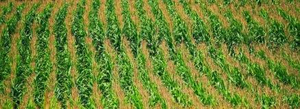 Bandera del campo de maíz Imágenes de archivo libres de regalías