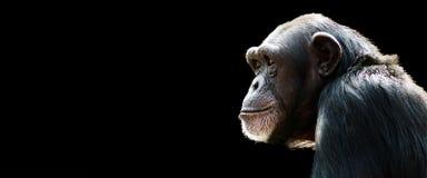 Bandera del chimpancé fotografía de archivo libre de regalías
