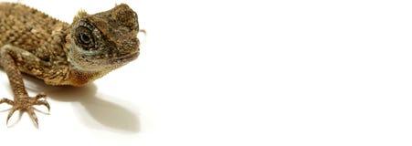 Bandera del Web del lagarto Imagen de archivo libre de regalías
