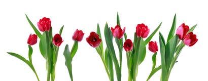 Bandera horizontal roja del tulipán Imagenes de archivo