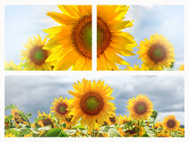 Bandera o fondos del web del verano con los girasoles Foto de archivo libre de regalías