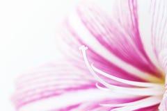 Bandera rosada blanca de la foto de la flor del lirio Plantilla femenina de la bandera de la primavera Decoración del balneario d Imágenes de archivo libres de regalías
